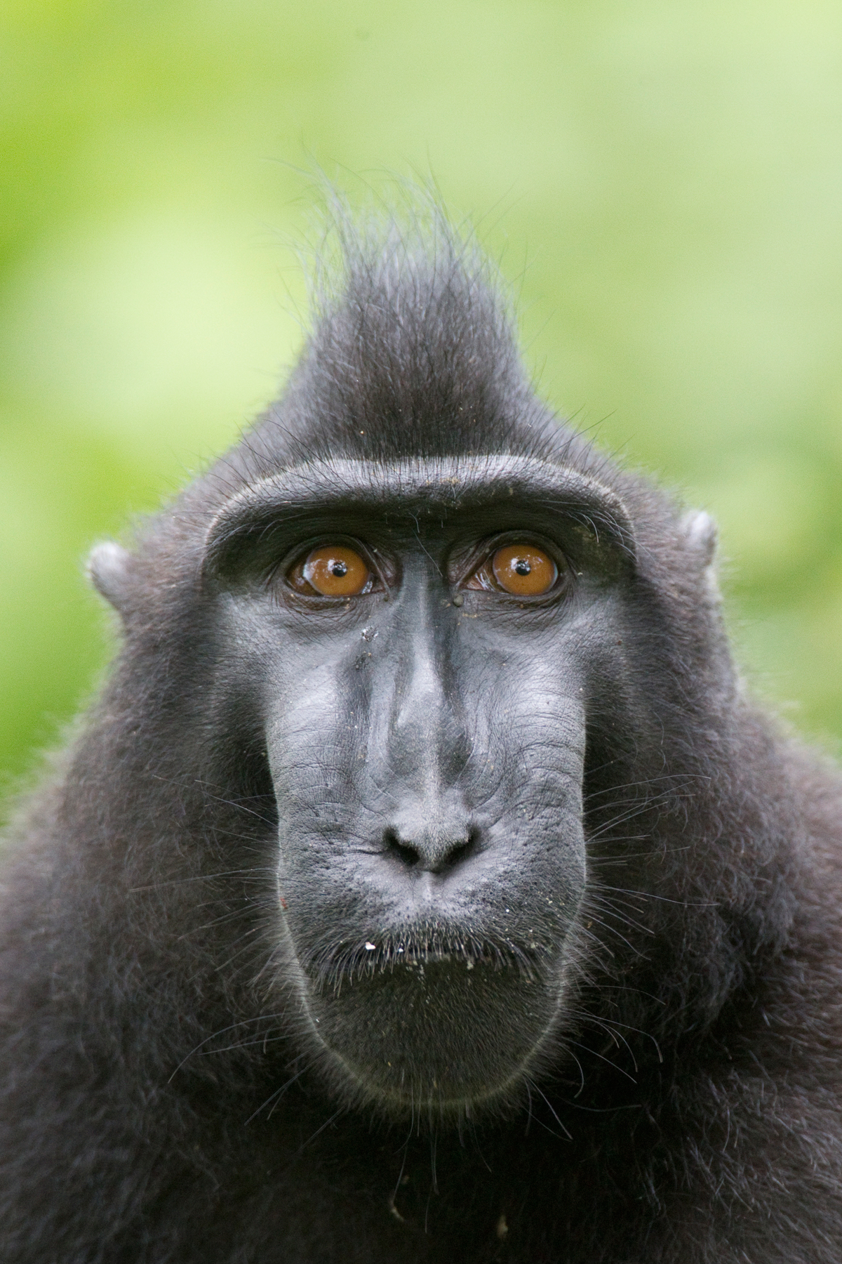 Sulawesi-black-crested-macaque-(3) – Chris Hill Wildlife